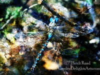 Blue-eyed darner dragonfly collage