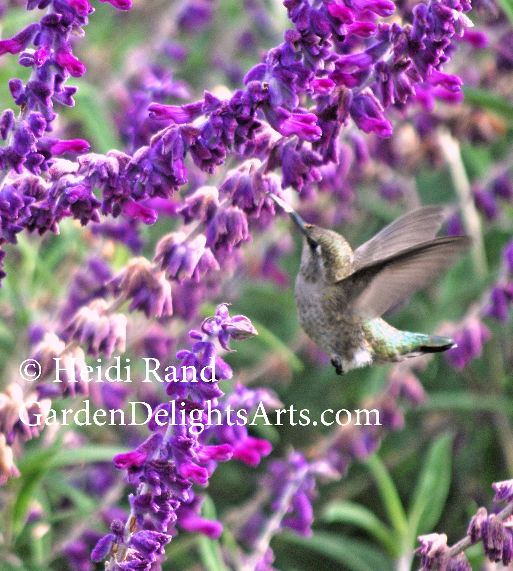 Hummingbird at Mexican Sage