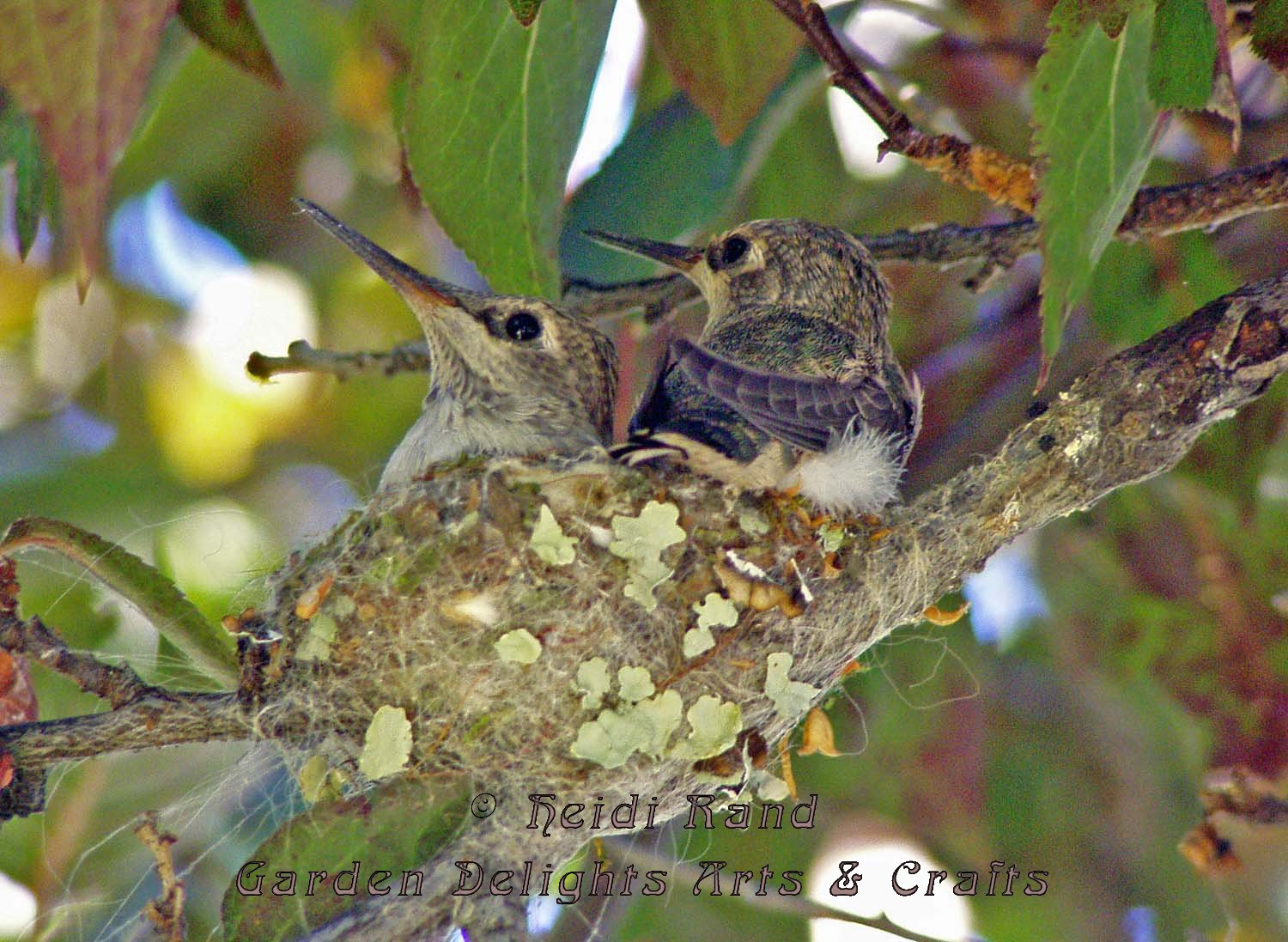 Hummingbird babies in nest