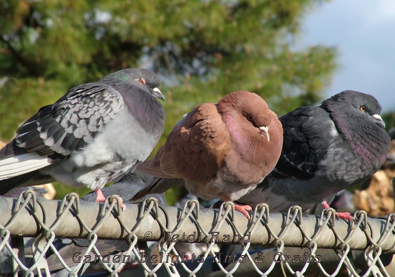 Pigeons puffed on fence