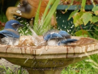 Jays in bird bath