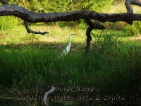 Egret in swamp