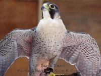 Hawk wings