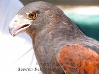 Hawk closeup