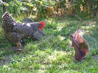 Hen and squirrel