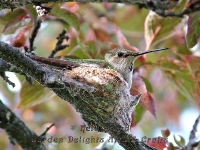 Hummingbird mother on nest