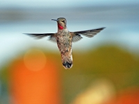 Hummingbird hovers