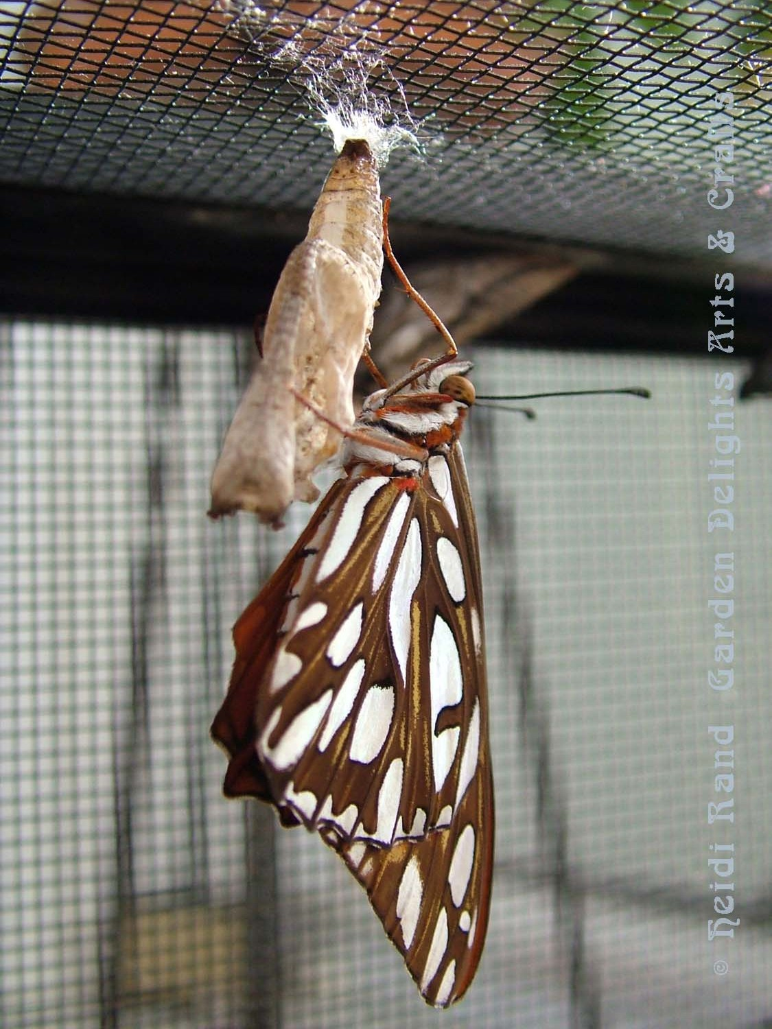 Fritillary on chrysalis