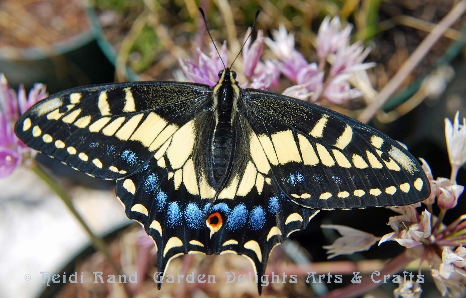 Swallowtail butterfly on allium flower