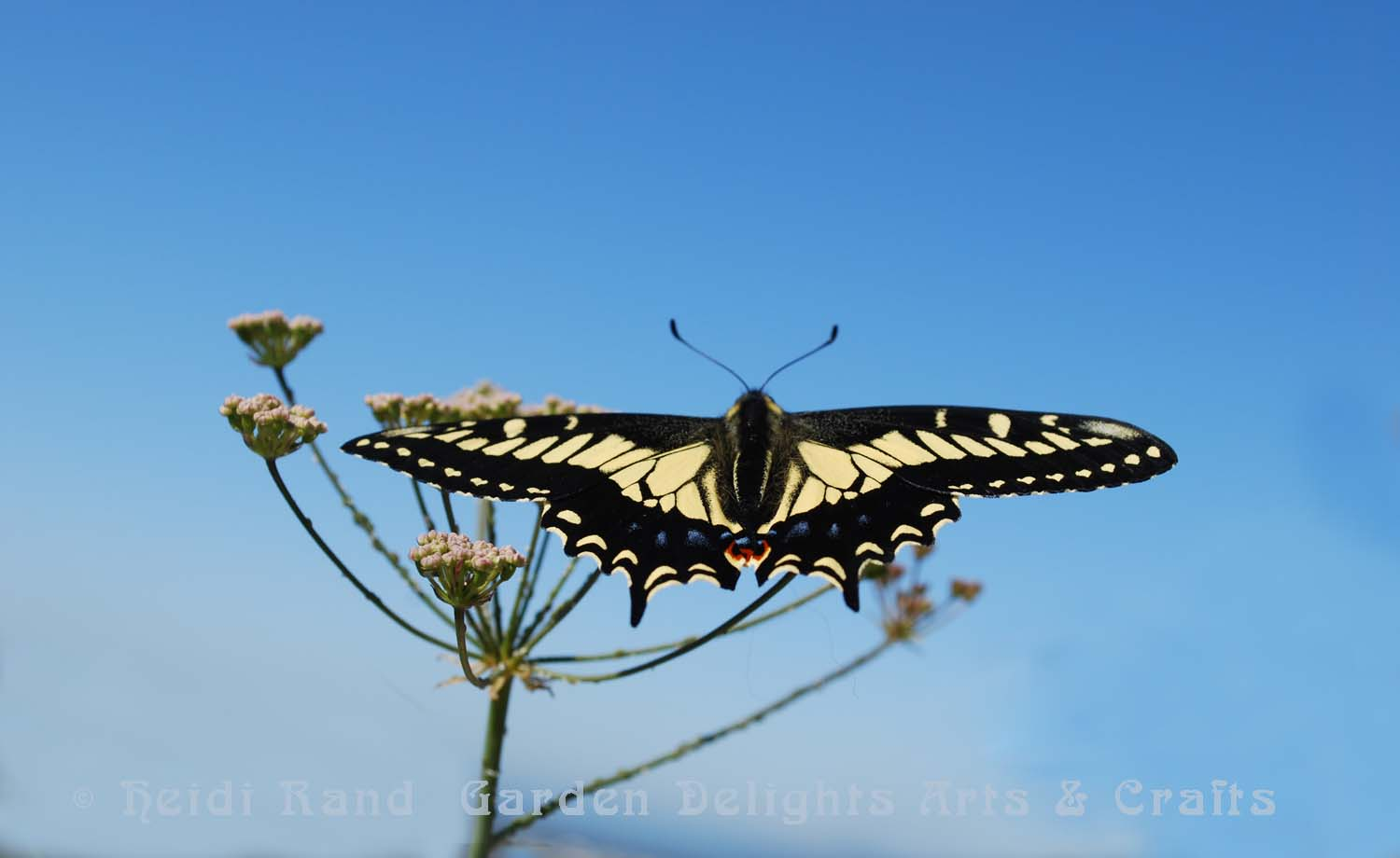 Swallowtail butterfly on yampah