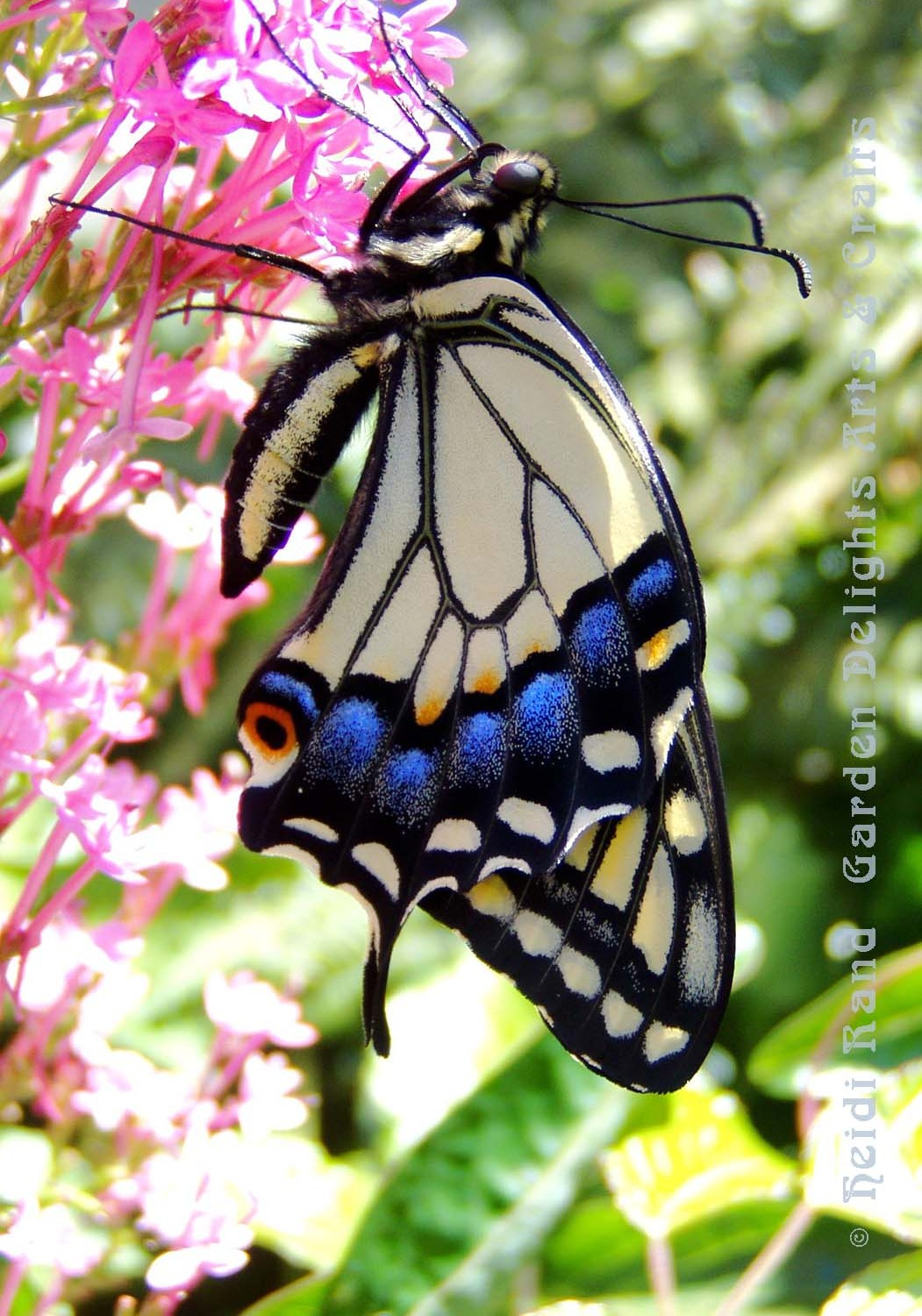 Swallowtail butterfly side