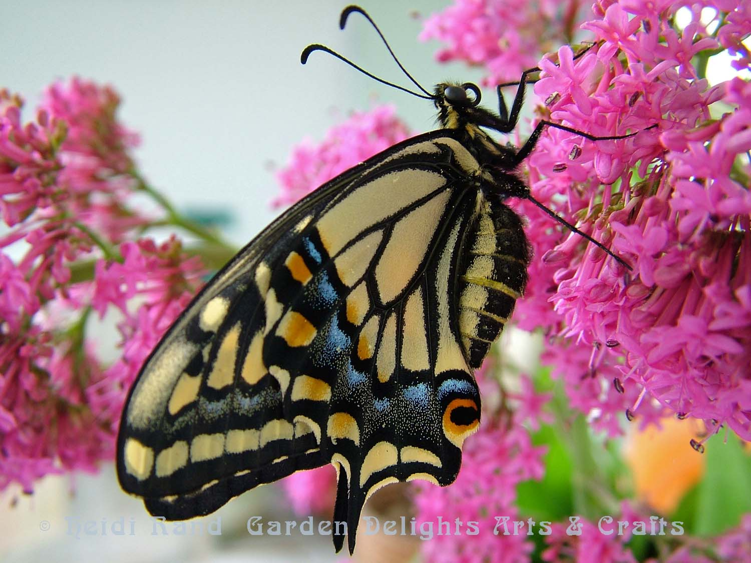Swallowtail butterfly on pink butterfly bush flower