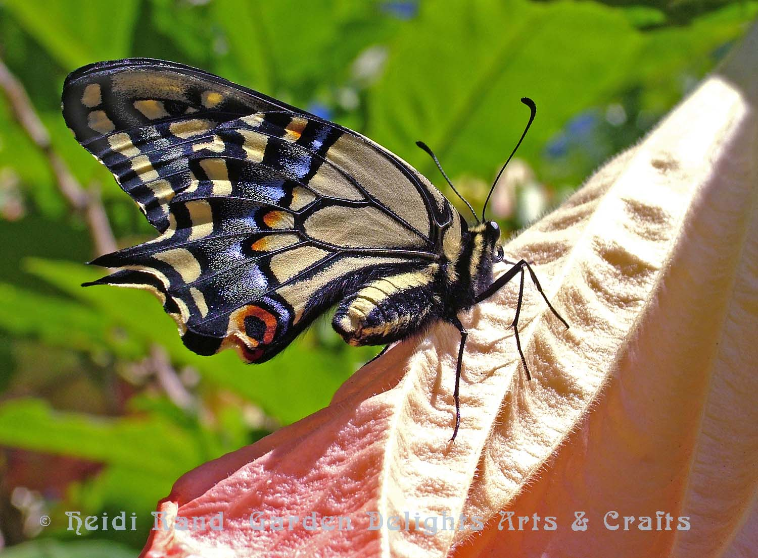 Swallowtail butterfly on angel's trumpet flower