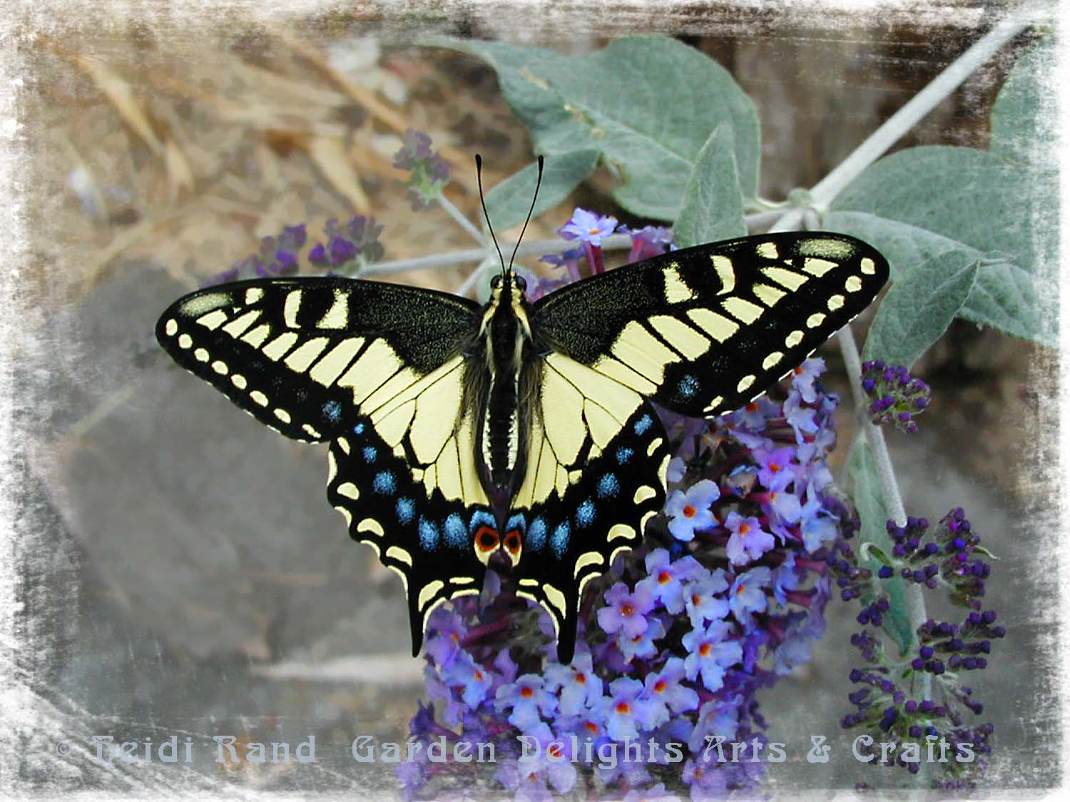 Swallowtail butterfly on blue butterfly bush flower