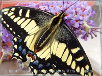 Swallowtail butterfly on butterfly bush flower