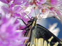 Swallowtail butterfly closeup on allium flower