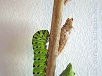 Swallowtail butterfly caterpillar and chrysalis
