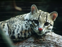Ocelot at Seattle Zoo