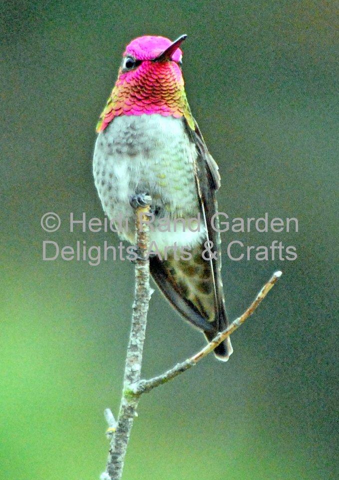 Anna's hummingbird. Greeting card 1010