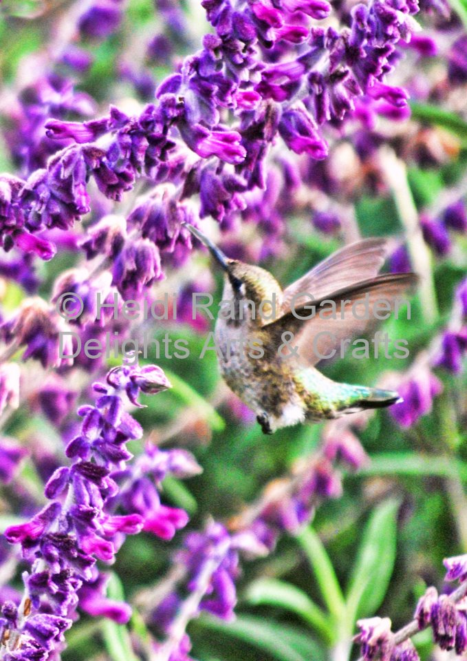 Hummingbird at Sage. Greeting card 1017
