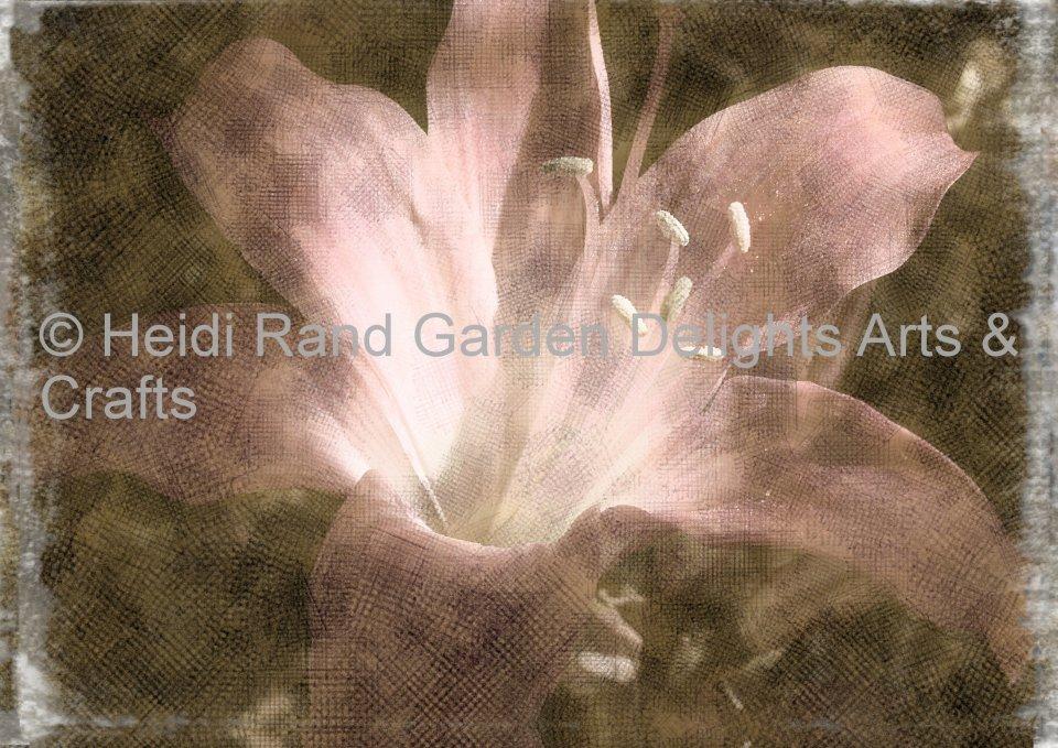 Amaryllis belladonna (Naked Lady lily). Greeting card 1081