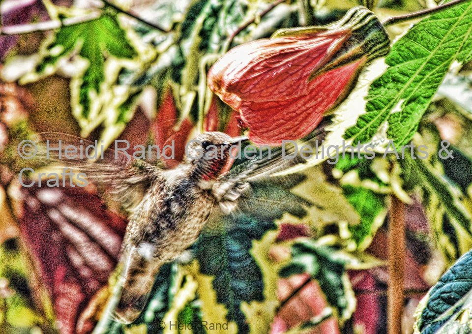 Hummingbird at abutilon. Greeting card 1016