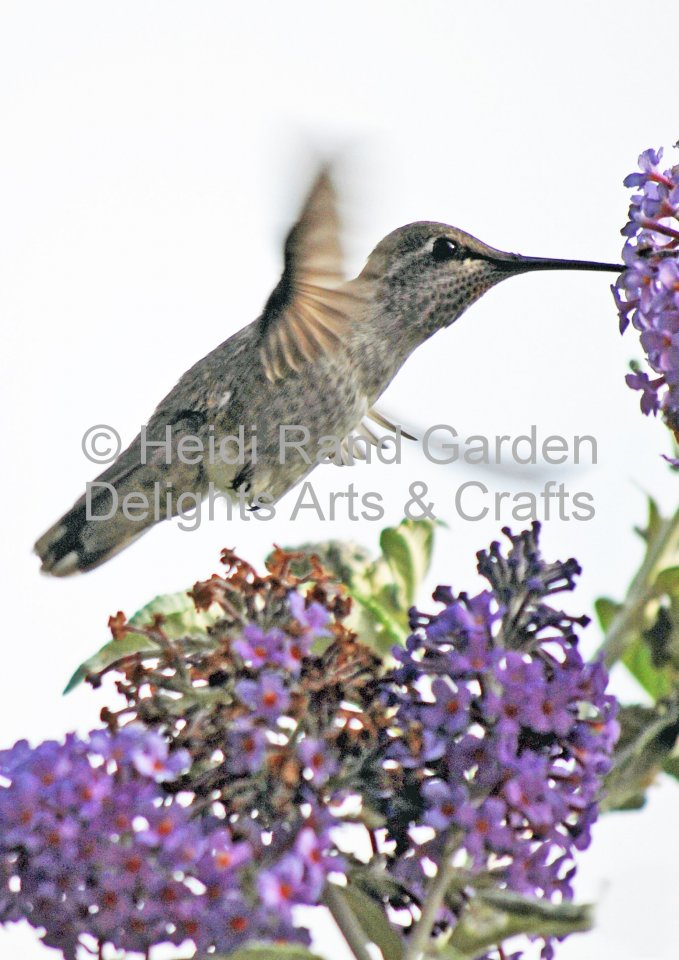 Hummingbird at buddleia. Greeting card 1003