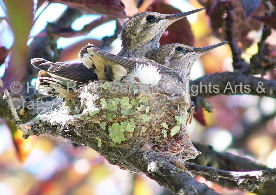 Hummingbird babies on nest.Greeting card 1002