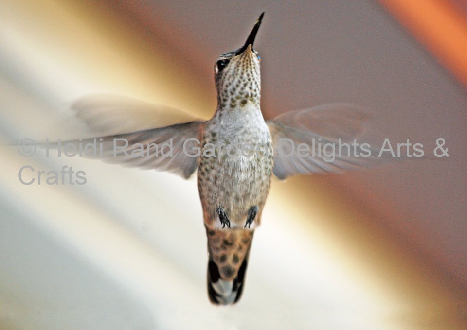 Hummingbird wingspread. Greeting card 1006