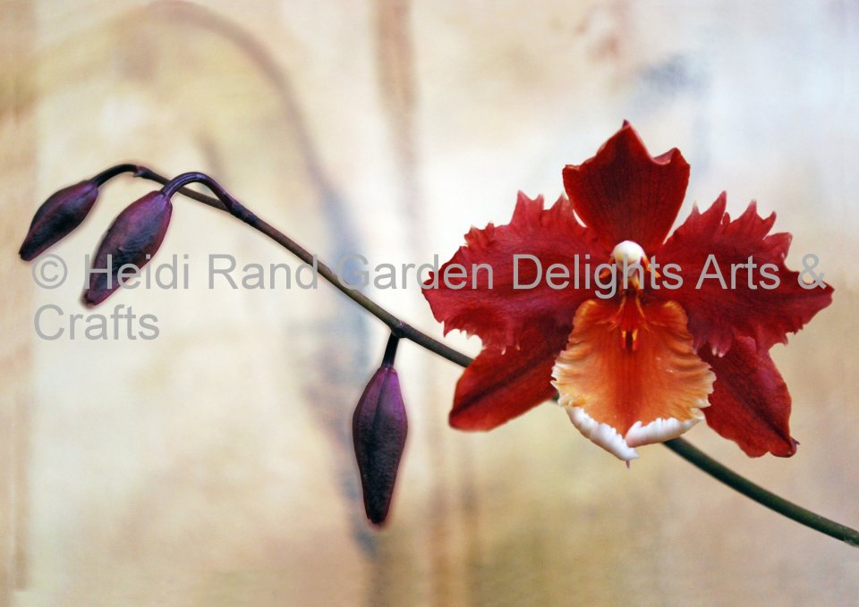 Odontoglossum orchid. Greeting card 1083