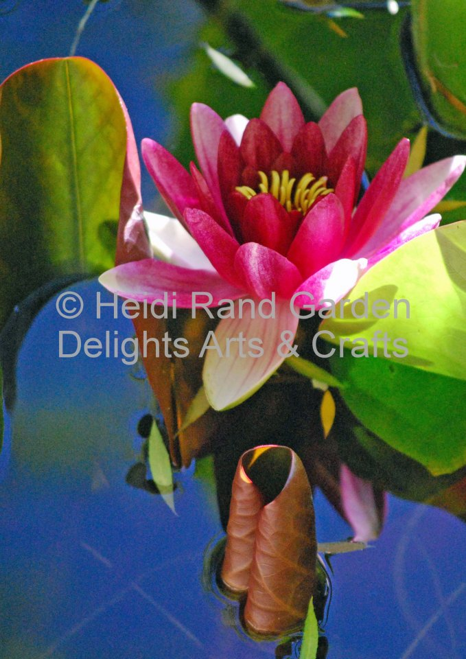 Water lily and lily pads in pond. Greeting card 1089