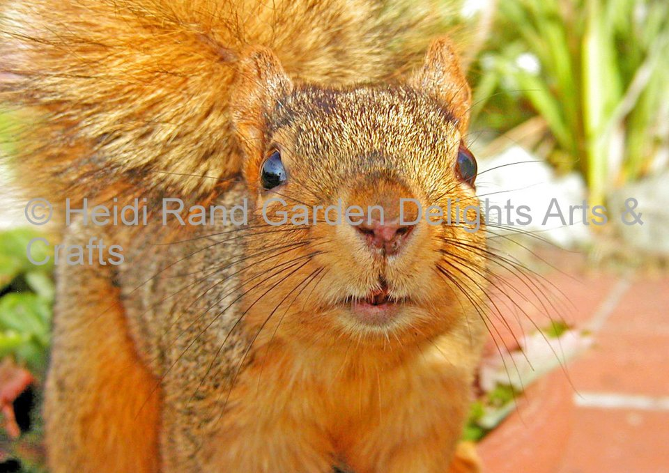 Squirrel. Greeting card 1357