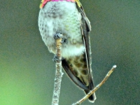 Anna's hummingbird. Greeting card 1010