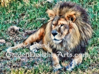 Lion. Greeting card 1358