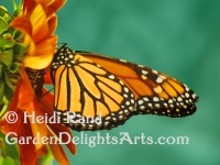 Monarch butterfly GR1058