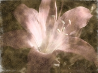 Amaryllis belladonna (Naked Lady lily). Greeting card 1081
