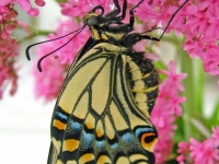 Anise swallowtail butterfly on buddleia. Greeting card 1051