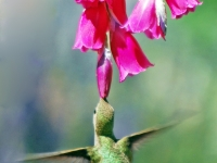 Hummingbird at red flower. Greeting card 1011