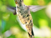 Hummingbird flying. Greeting card 1012