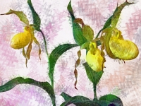 Ladyslipper orchid. Greeting card 1085