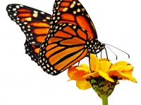 Monarch on zinnia. Greeting card 1055