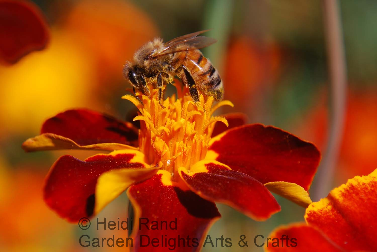 Honeybee on velvety flower