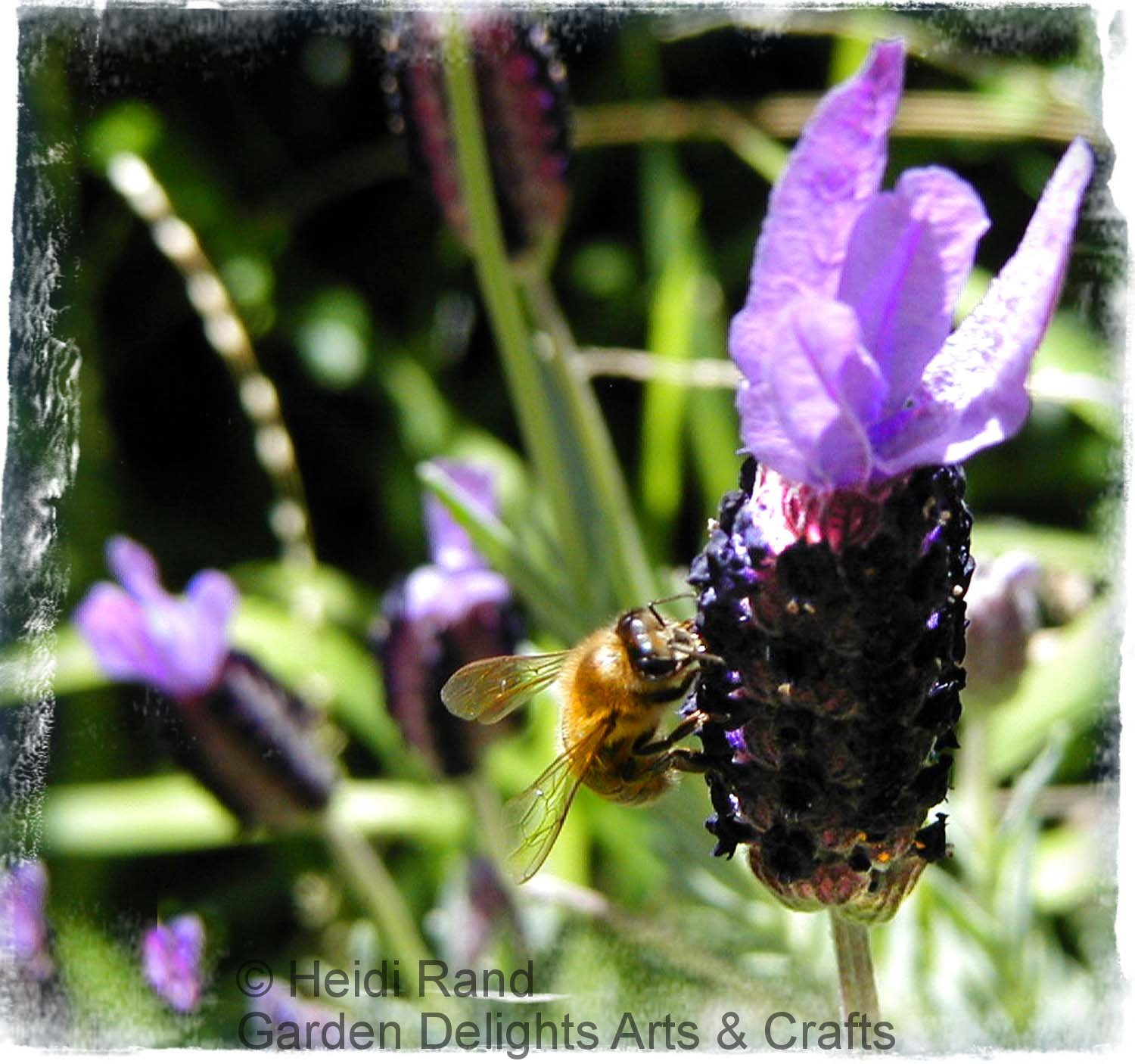 Honeybee on Spanish lavender