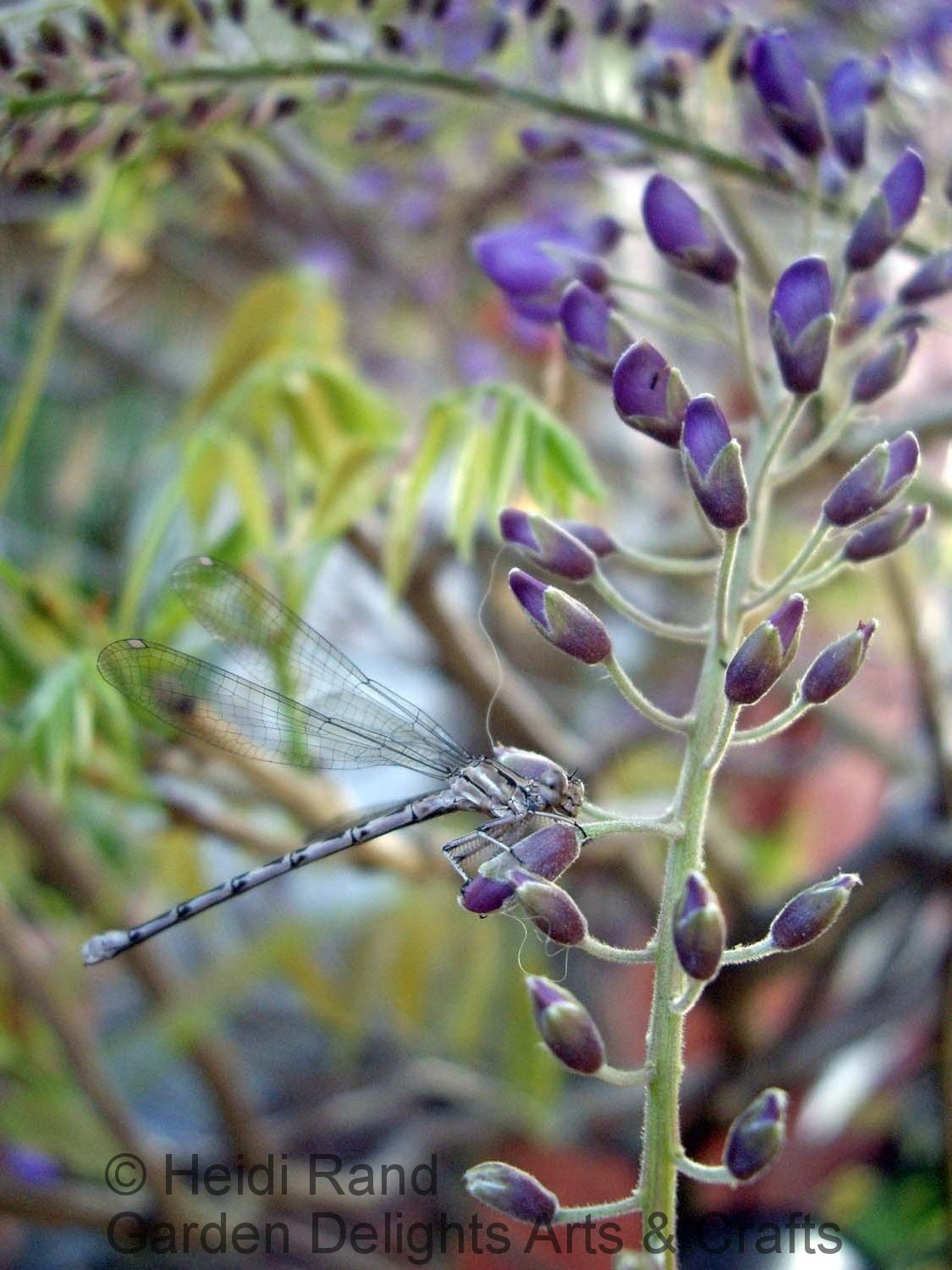 Blue darning needle on wisteria