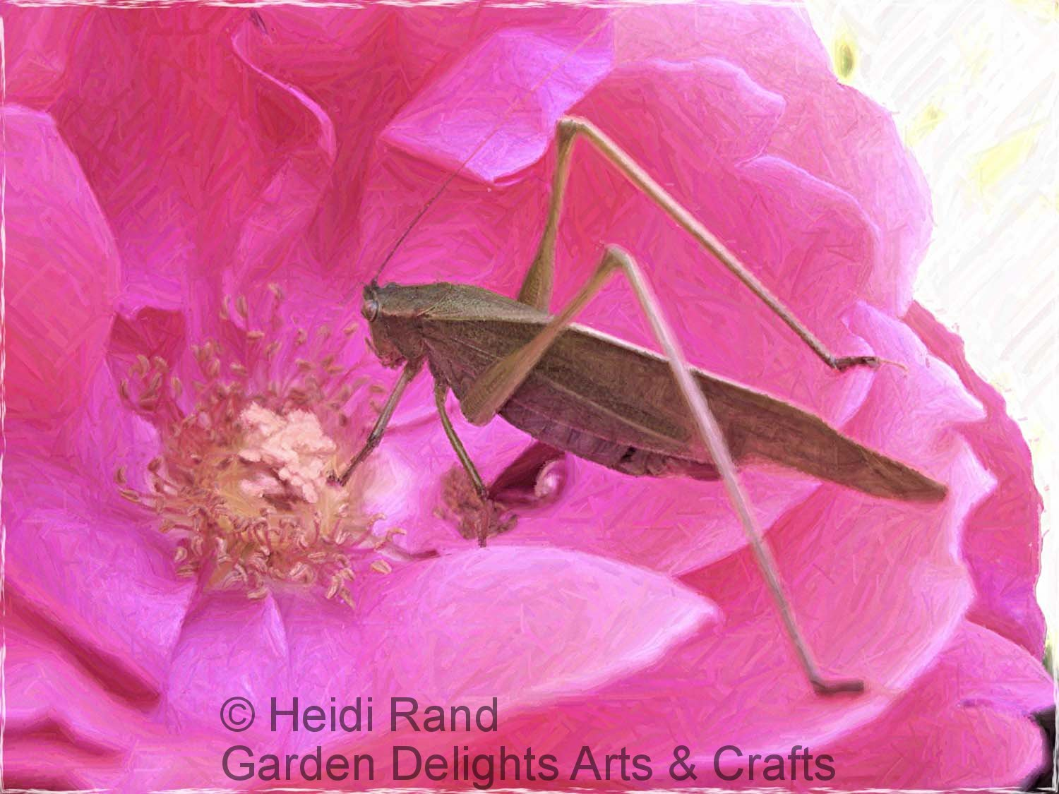 Grasshopper on rose