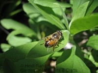 Honeybee on foliage