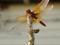 Scarlet darter dragonfly at pond