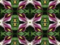 Calla lily kaleidoscope