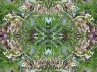 Fritillaries kaleidoscope