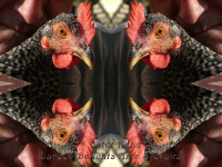 Hen and George kaleidoscope